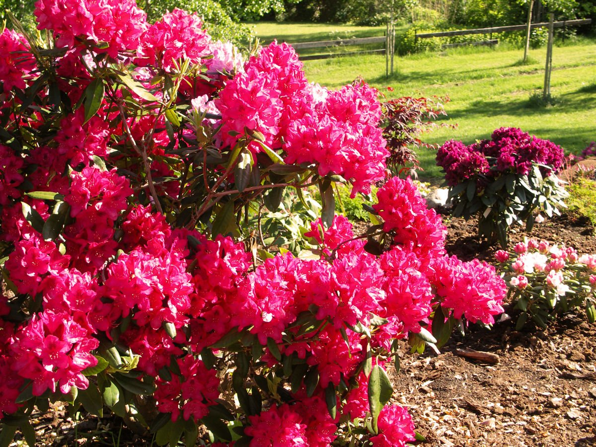 Rhododendron Nova Zembla - Mature Size Plant - 24'' to 30'' Wide - Light Red Blooms
