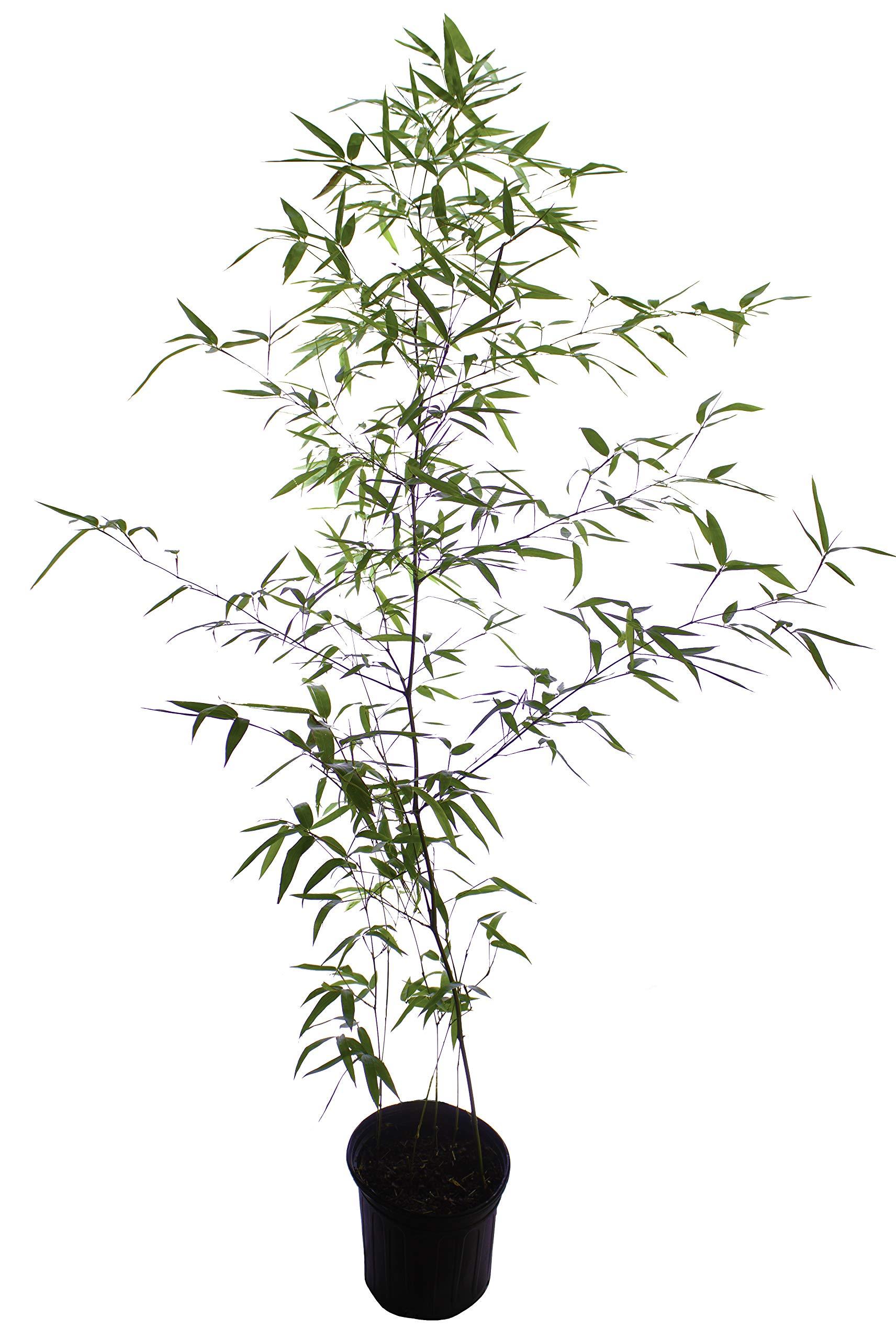 Incense Bamboo Phyllostachys Atrovaginata (2 Gallon 2-3 feet Tall)