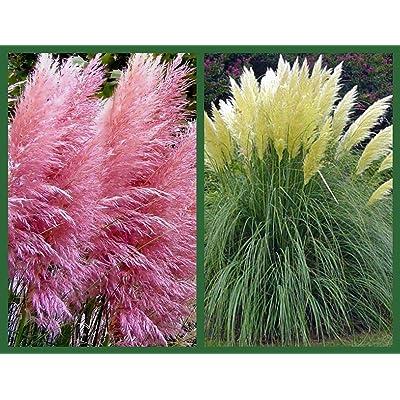 Pampas Grass Seeds, Pink & White, 2pk Special, Heirloom Ornamental Grass Seeds : Garden & Outdoor