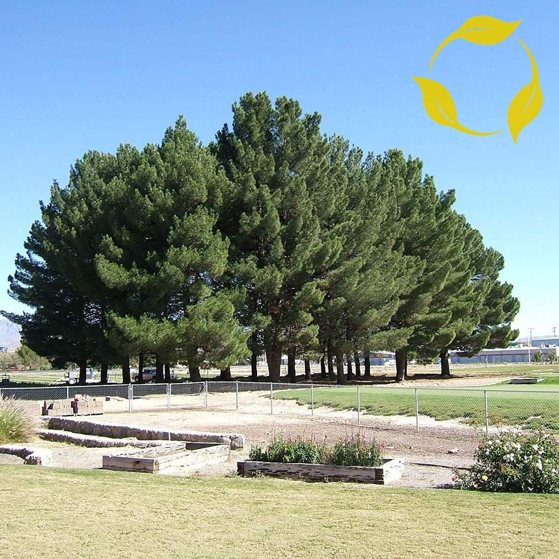 VISA STORE SEMILLAS AFGHAN Pinus eldarica