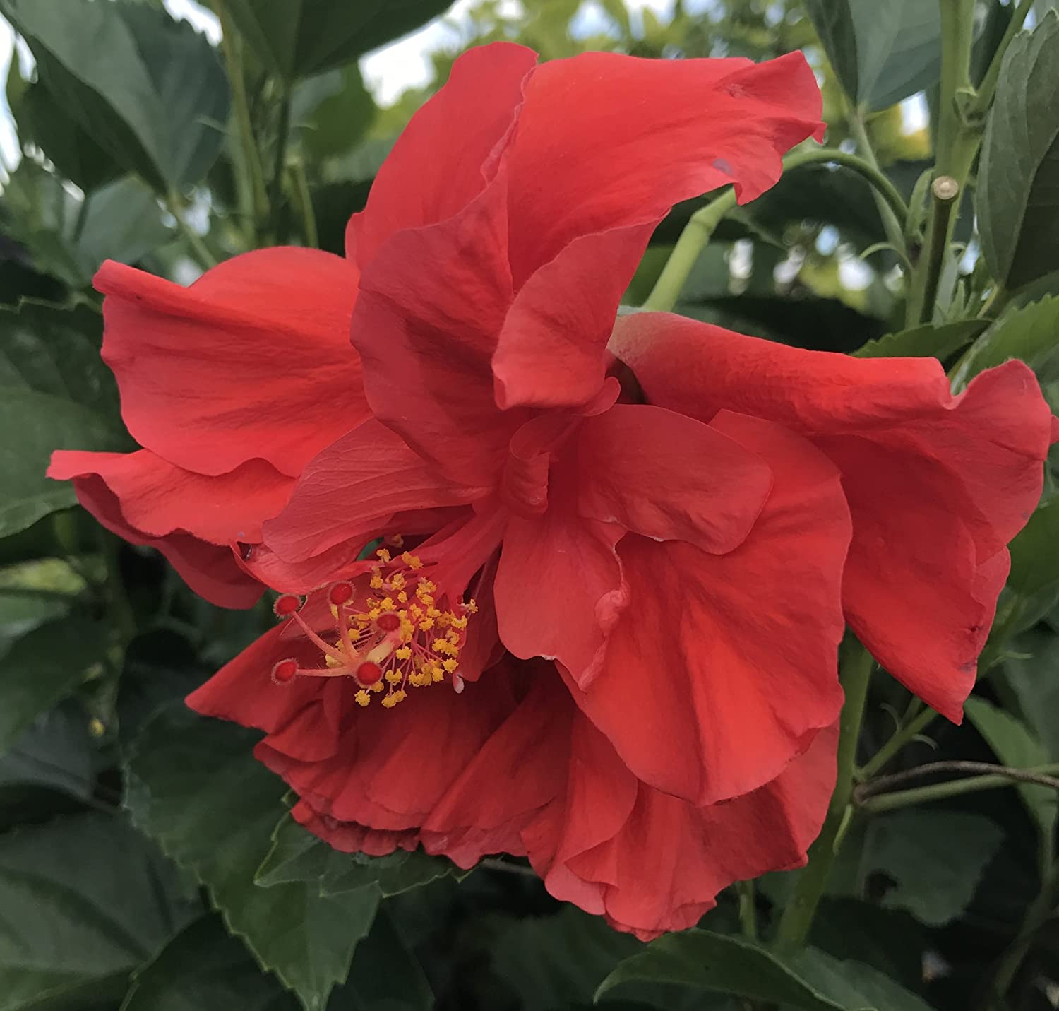 Amazon tropical hibiscus rosa sinensis double red live amazon tropical hibiscus rosa sinensis double red live plant garden outdoor izmirmasajfo