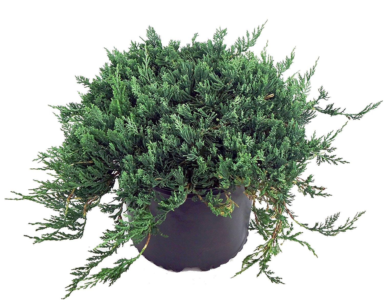 Juniperus hor. 'Wiltonii' (Creeping Juniper) Evergreen, 2 - Size Container