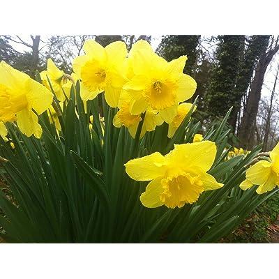 25 WILD DAFFODIL FLOWER BULBS (NARCISSUS PSEUDONARCISSUS) : Garden & Outdoor