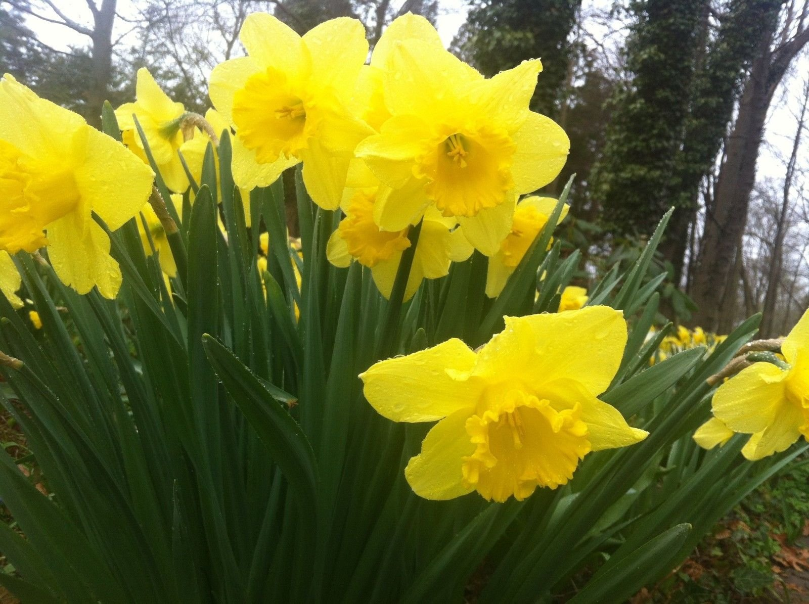 100 Wild Daffodil Flower Bulbs (Narcissus Pseudonarcissus)