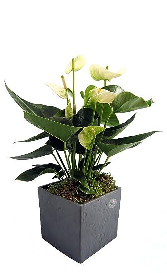 Dominik Blumen und Pflanzen, Zimmerpflanzen Flamingo-Blume, Anthurie ...