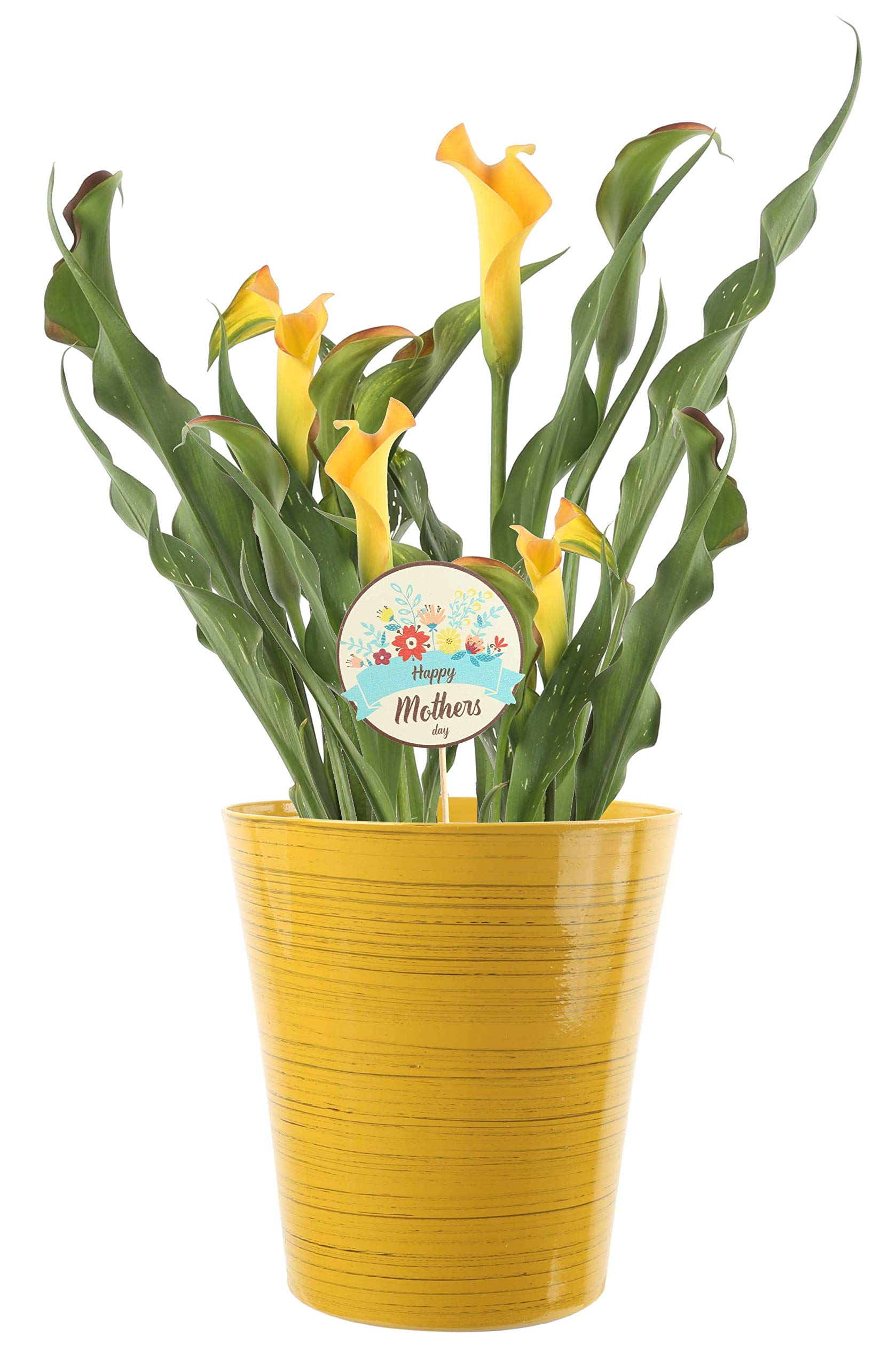 Costa Farms Calla Lily Live Outdoor Plant 2.5 QT Decor Pot, Grower's Choice Variety, Excellent Gift