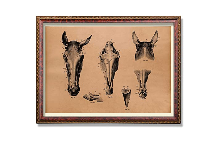 Amazon Antique Horse Art Print Animal Anatomy Poster Skull