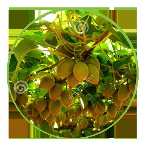 Kiwifruit - 6