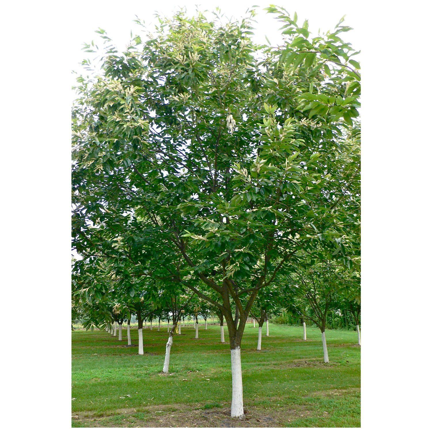 American Chestnut Tree - Hybrid - Castanea dentata X mollissima - Heavy Established - 2 Gallon Potted -1 Plant by Growers Solution by Grower's Solution (Image #1)