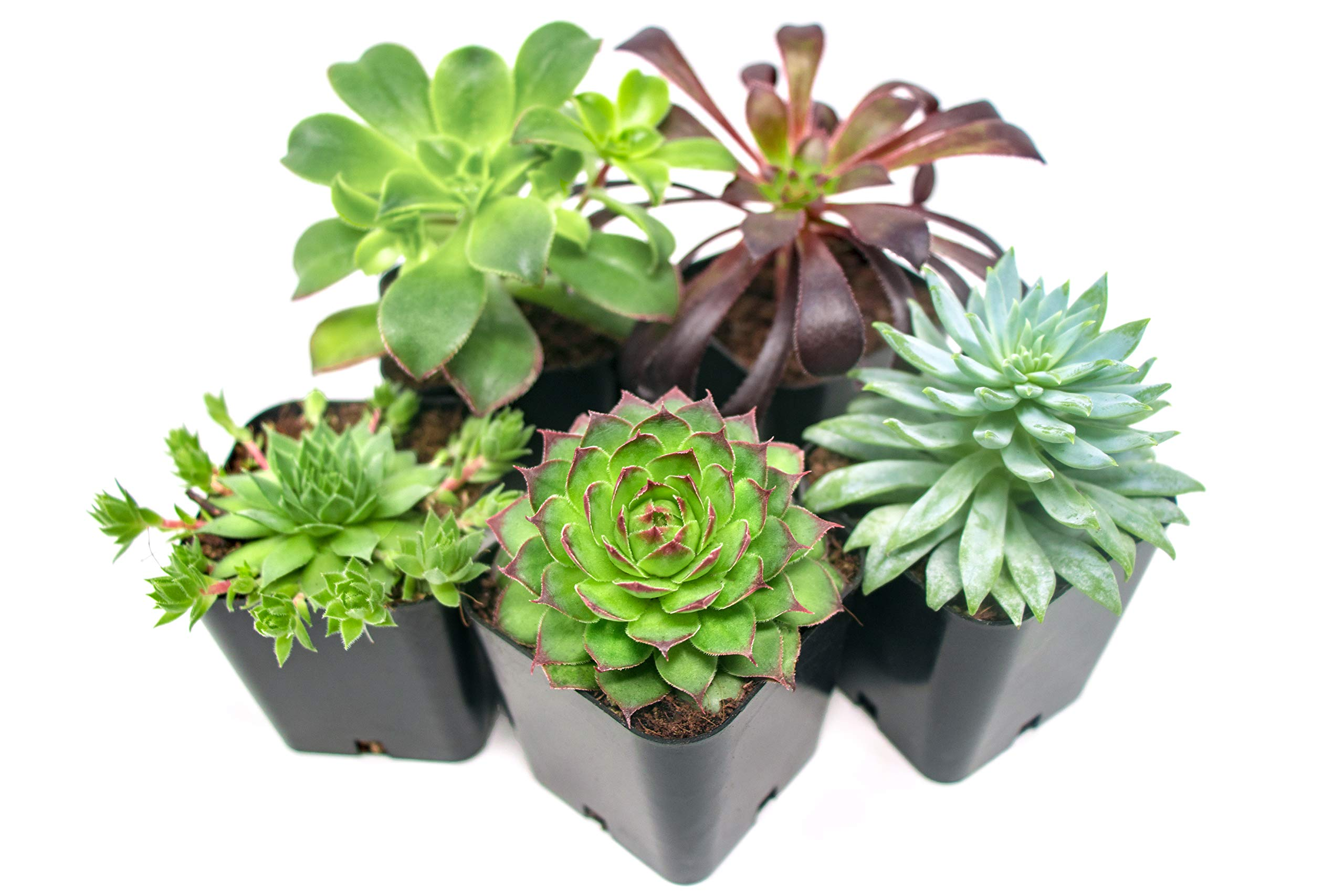 Succulent Plants (20 Pack) Fully Rooted in Planter Pots with Soil | Real Live Potted Succulents / Unique Indoor Cactus Decor by Plants for Pets 4 HAND SELECTED: Every pack of succulents we send is hand-picked. You will receive a unique collection of species that are fully rooted and similar to the product photos. Note that we rotate our nursery stock often, so the exact species we send changes every week. THE EASIEST HOUSE PLANTS: More appealing than artificial plastic or fake faux plants, and care is a cinch. If you think you can't keep houseplants alive, you're wrong; our succulents don't require fertilizer and can be planted in a decorative pot of your choice within seconds. DIY HOME DECOR: The possibilities are only limited by your imagination; display them in a plant holder, a wall mount, a geometric glass vase, or even in a live wreath. Because of their amazingly low care requirements, they can even make the perfect desk centerpiece for your office.
