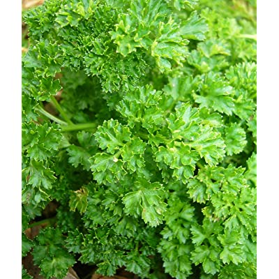 AchmadAnam - Seeds - Parsley - Triple Curled HERB Seeds - Garden Seeds - Bulk : Garden & Outdoor [5Bkhe0800199]