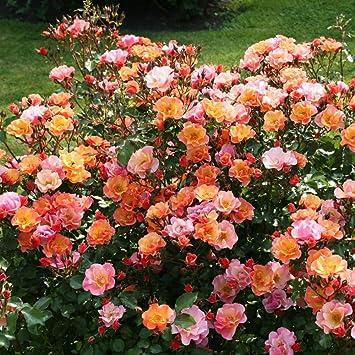 Lichtnelke Beetrose Jazz Bodendecker Rose Farbspiel 2l Amazon De