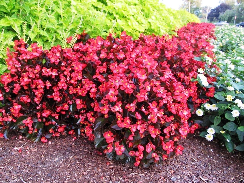 Amazon Com Wax Begonia 100 Seeds Begonia Semperflorens Red