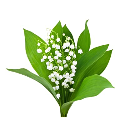 Special Sale: 10 Large, Plump Lily of The Valley Bare Root Plant Pips - Bloom in May : Garden & Outdoor