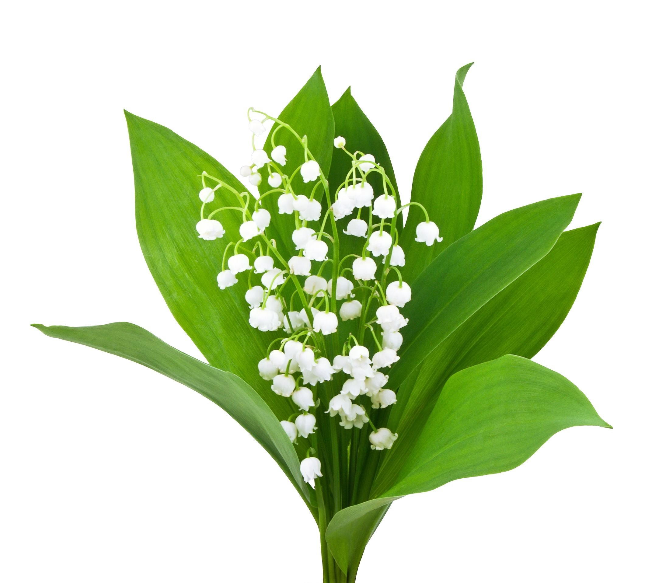 Special Sale - 10 Very Large, Plump Lily of The Valley Plant Pips Bare Root Fresh from Holland - Eager to Bloom in May! by Marde Ross & Company (Image #1)