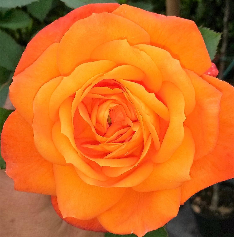 gowlers plants Super Trouper Floribunda Rose Bush Bare Root PRE ORDER