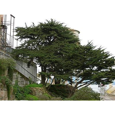 Monterey Cypress, Cupressus macrocarpa, Tree Seeds (30 Seeds): Garden & Outdoor
