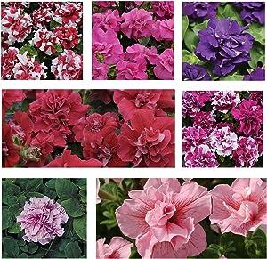 Petunia - Double Madness Series Flower Garden Seed - 1000 Pelleted Seeds - Color Mix Blooms - Annual Flowers - Double Floribunda Petunias