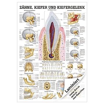 Zähne und Kiefergelenk Lehrtafel Anatomie 100x70 cm medizinische ...