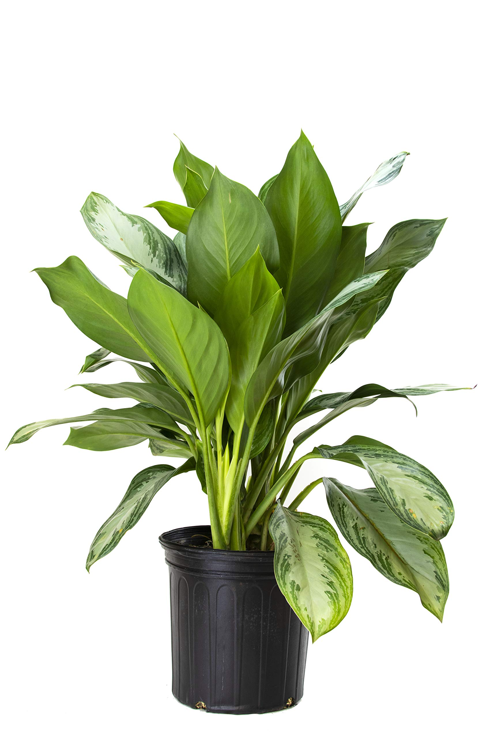 Burpee Aglaonema Chinese Evergreen 'Silver Bay' in an 8'' Pot