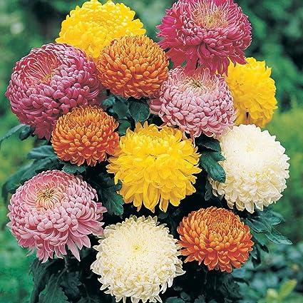 Gemeinsame Amazon.com: 40 seeds - Flower Chrysanthemum indicum - Indian #HB_18