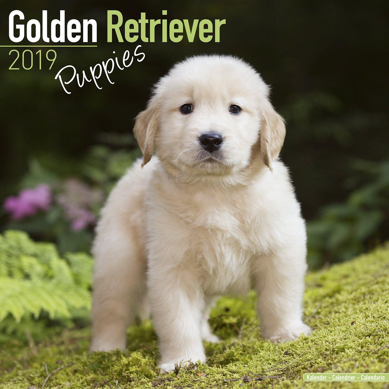 Golden Retriever Puppies Calendar Dog Breed Calendars 2018