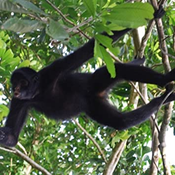 Amazoncom Spider Monkey Wallpaper Hd Wallpapers Of