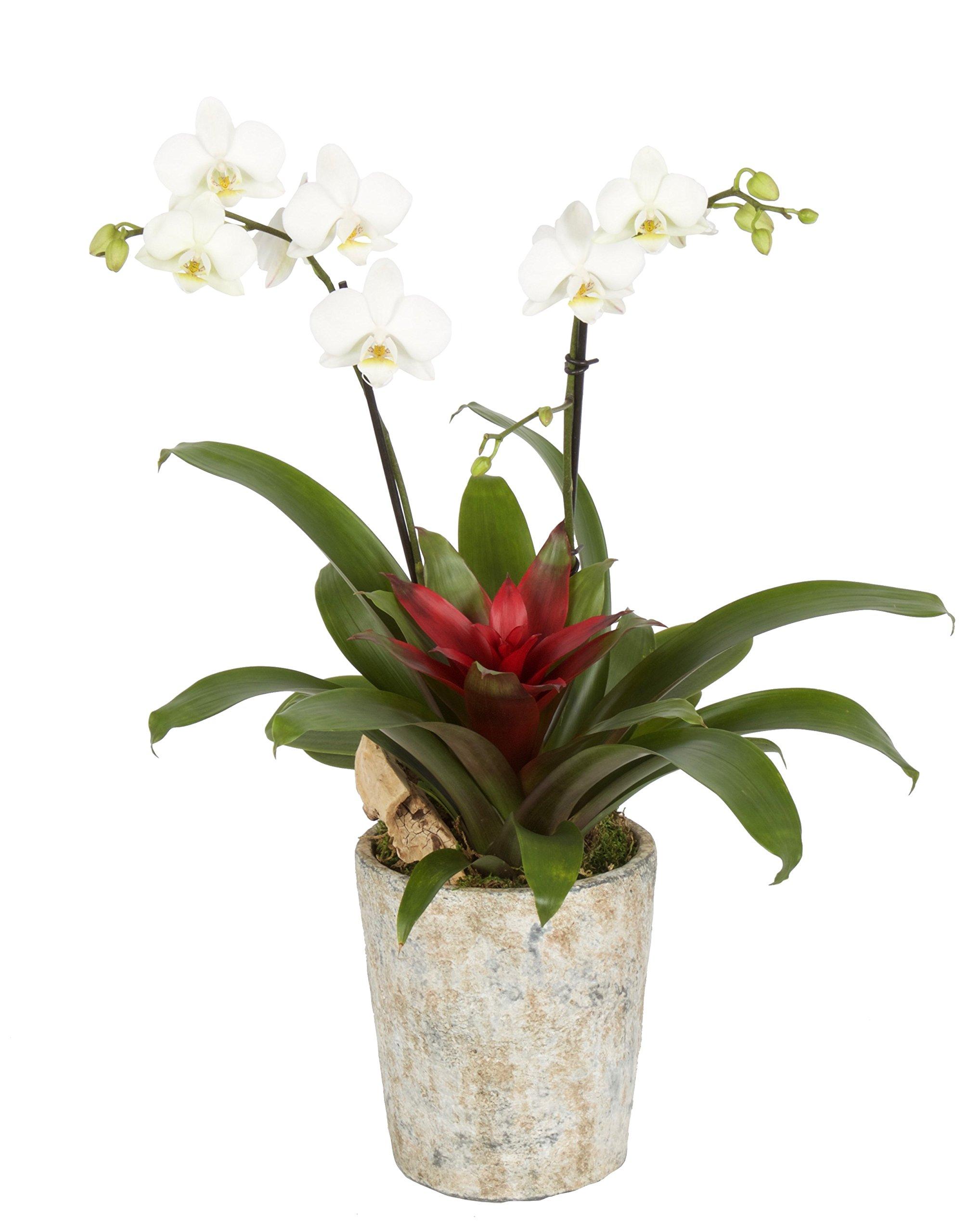 Color Orchids AMZ9101RI Live Double Stem Phalaenopsis, 15 x 20, White Blooms Orchid Garden Plant in Ceramic Pot,