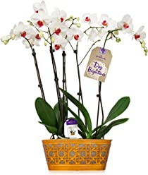 Hallmark Flowers Double Spike White Orchid Duo in 10-Inch Yellow Tin Container