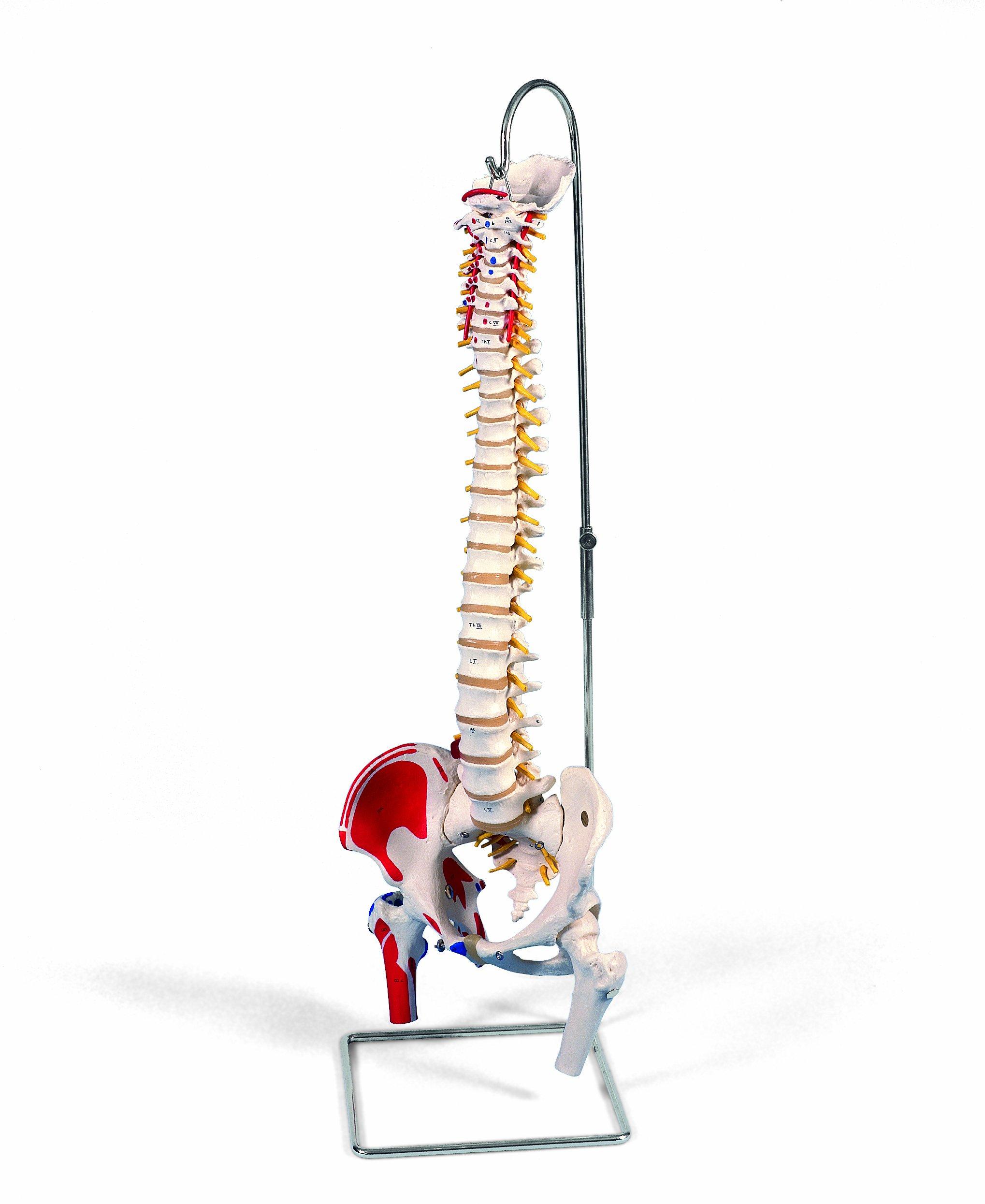 3B Scientific  A58/3 Modelo de anatomía humana Columna Flexible Versión Clásica Pintada Con Cabezas - 3B Smart Anatomy