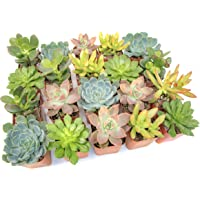 20-Pack Altman Plants Live Succulent Plants