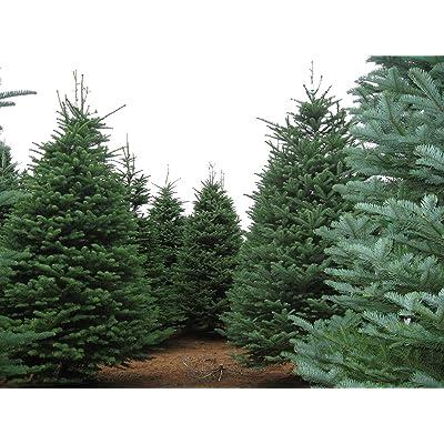 Noble Fir, Abies procera, (Abies nobilis), Tree Seeds (30 Seeds): Garden & Outdoor