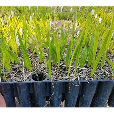 New SEEDLINGS - Trachycarpus Wagnerianus Waggy Palm Cold Hardy to -15C/5F : Garden & Outdoor