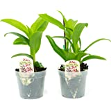 2 Live Orchid Plants | Dendrobium Orchids | Real Houseplants in Potting Soil Mix with Orchid Pots | Flowering Plants | Decorative Flowers Orchid Mix | by Plants for Pets, Green