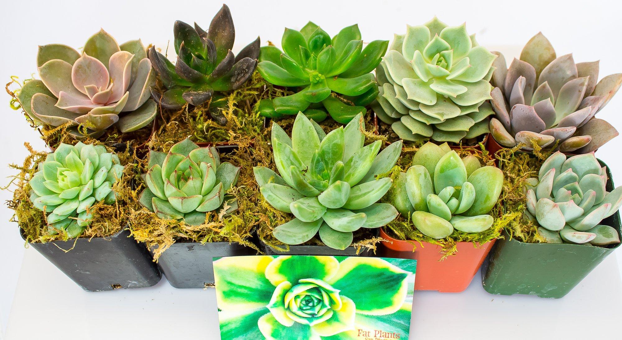 Fat Plants San Diego All Rosette Succulent Plants in 2 Inch Pots (10)