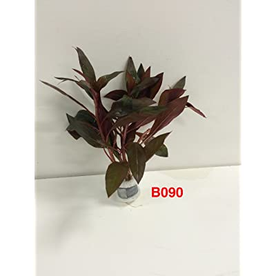 Exotic Live Aquatic Plant for Fresh Water Ludwigia peruensis Bundle B090 By Jayco Buy 2 GET 1 Free : Garden & Outdoor