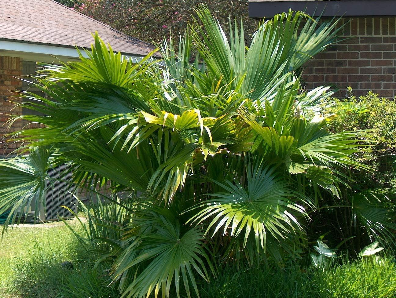 2 Semillas de Palmera abanico (Livistona Australis): Amazon.es: Jardín