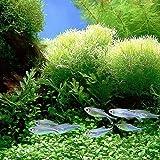 quanjucheer 1000 semillas de hierba mezcladas para acuario