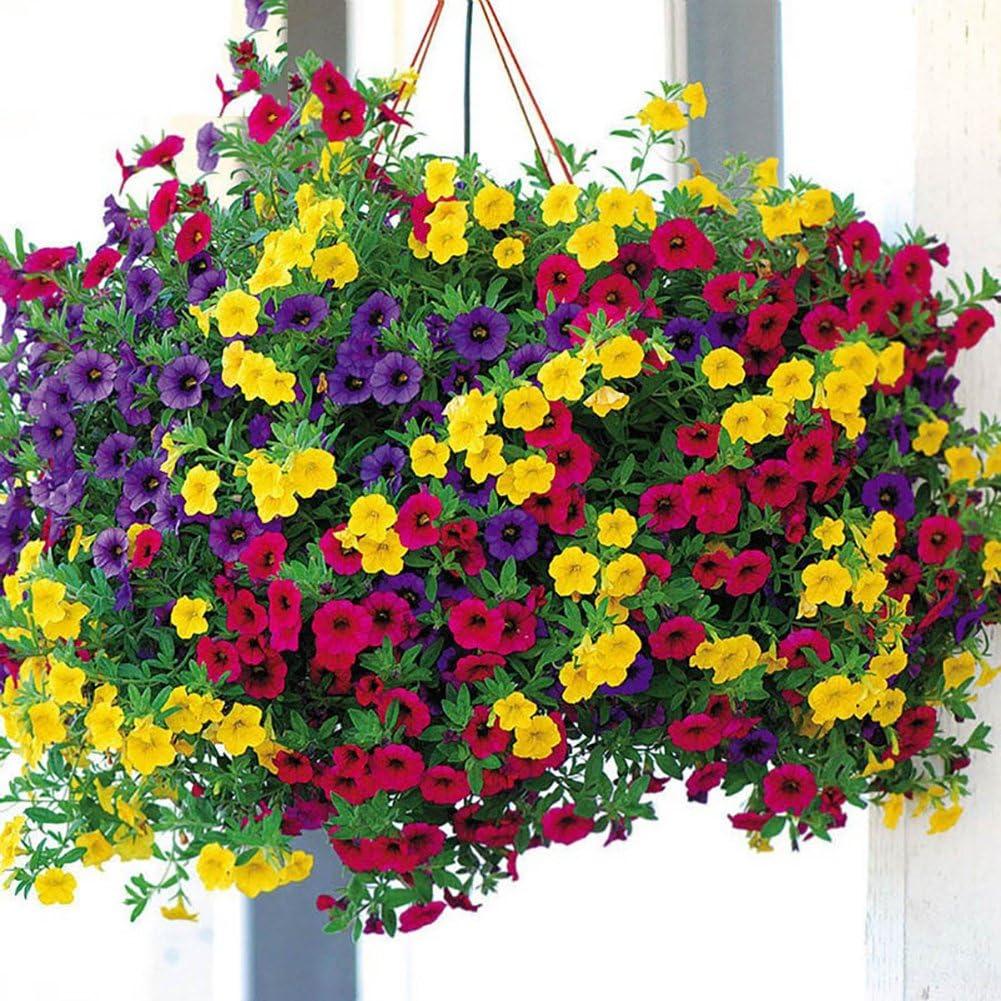FOReverweihuajz - 100 unidades de semillas de flores de araña para ...