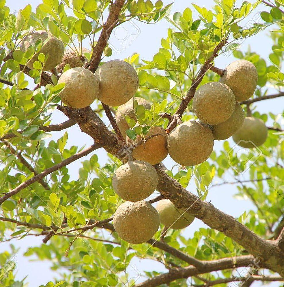 Amazon Com Bael Fruit Tree 8 Seeds Aegle Wood Apple Toys Games