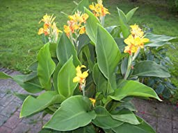 baldur garten canna cleopatra 3 knollen canna indica indisches blumenrohr garten. Black Bedroom Furniture Sets. Home Design Ideas