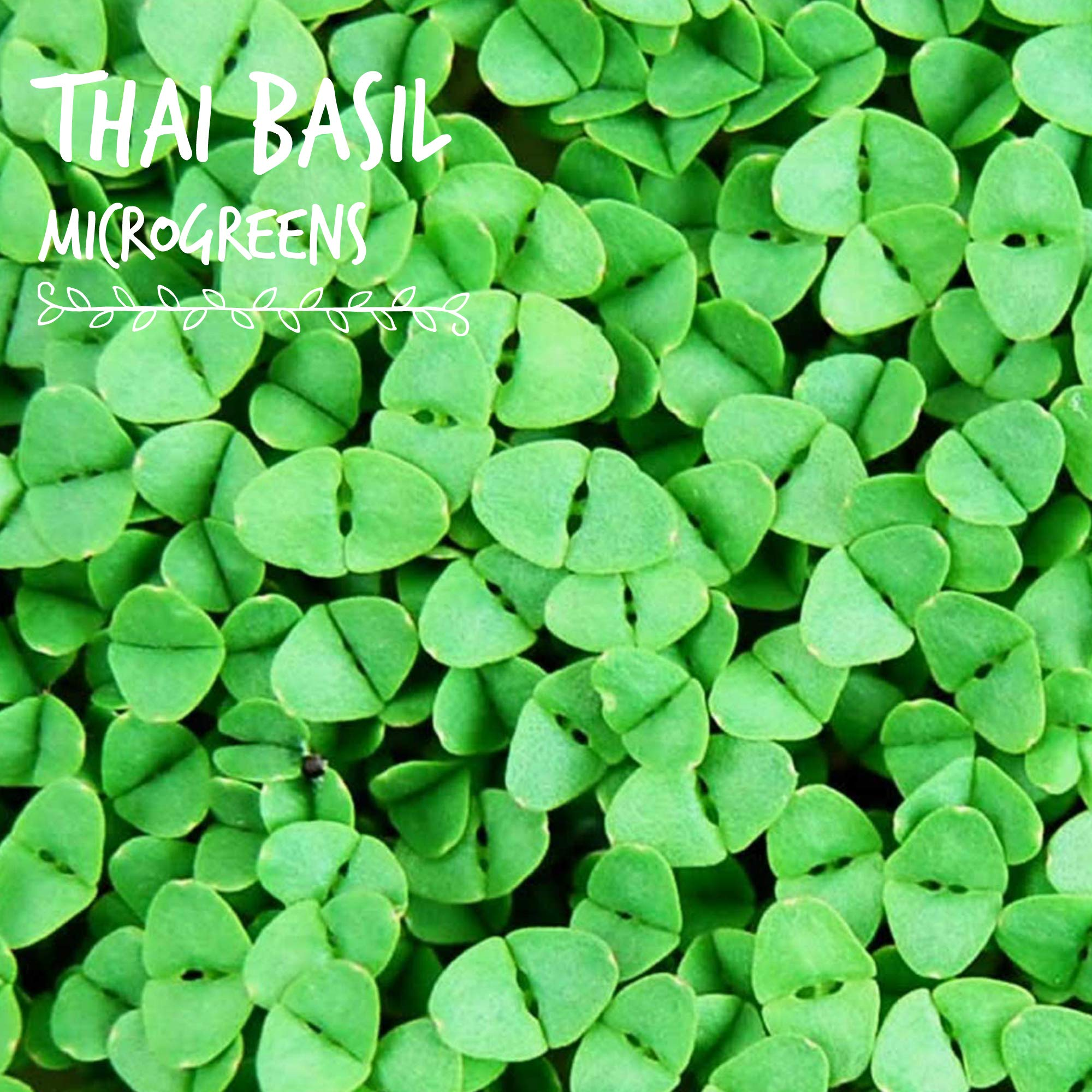 Thai Basil Seeds - Bulk Herb Seeds for Growing Microgreens, Indoor Gardening: Micro Greens Salad (1 Lb) by Mountain Valley Seed Company (Image #3)