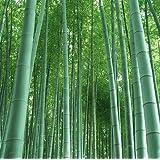"""Semi di BAMBU GIGANTE / 60 pezzi / Phyllostachys pubescens Moso """"Il re dei bambù"""""""