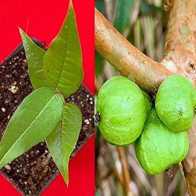 White Jaboticaba Plinia Aureana Large Leaf Brazilian Grape Fruit Tree Pot Plant : Garden & Outdoor