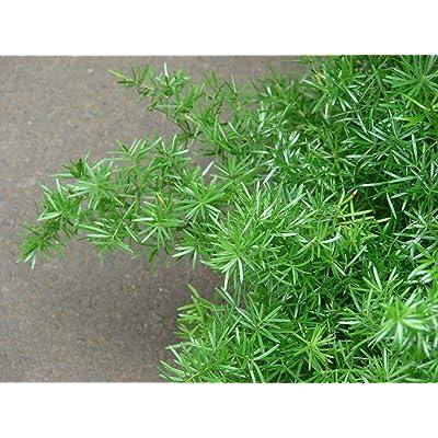 Asparagus sprengeri Hardy Form Hardy Asparagus Fern Seeds! : Garden & Outdoor