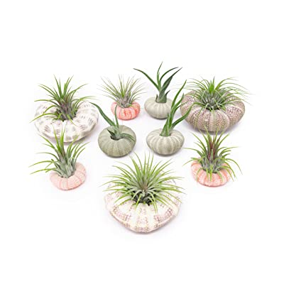 Air Plant Sea Urchin Kit (9 Variety Pack) - Natural Shell Containers / Holders for Live Tillandsia - Multicolor Stand / Jellyfish Pot for Indoor Home Decor by Aquatic Arts: Grocery & Gourmet Food