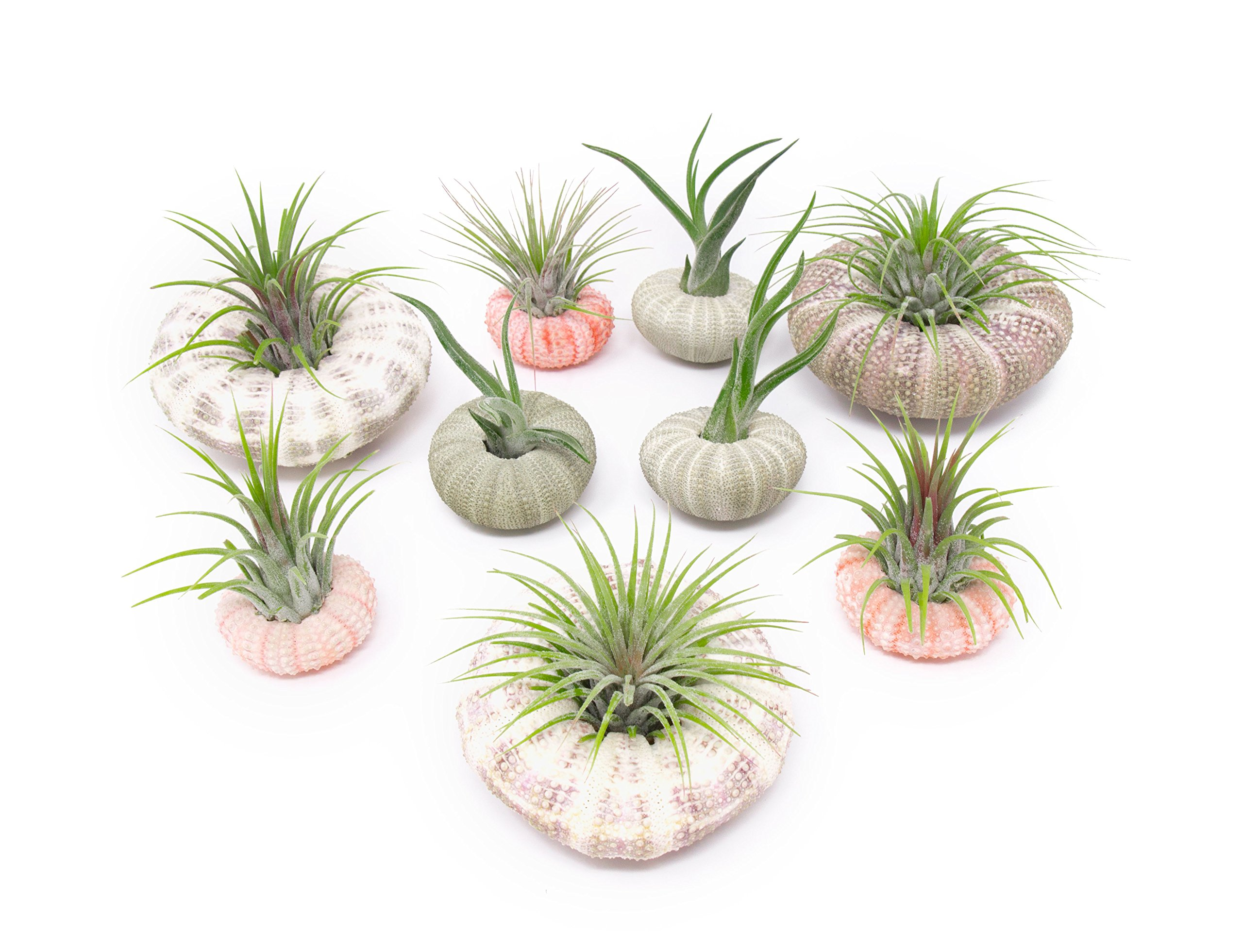 Air Plant Sea Urchin Kit (9 Variety Pack) - Natural Shell Containers/Holders for Live Tillandsia - Multicolor Stand/Jellyfish Pot for Indoor Home Decor by Aquatic Arts