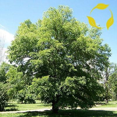 Siberian ELM Ulmus Pumila 25, 50, 100 Seeds : Garden & Outdoor