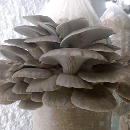 Amazon com : 100 Grams/4 oz of Phoenix Oyster Mushroom Spawn