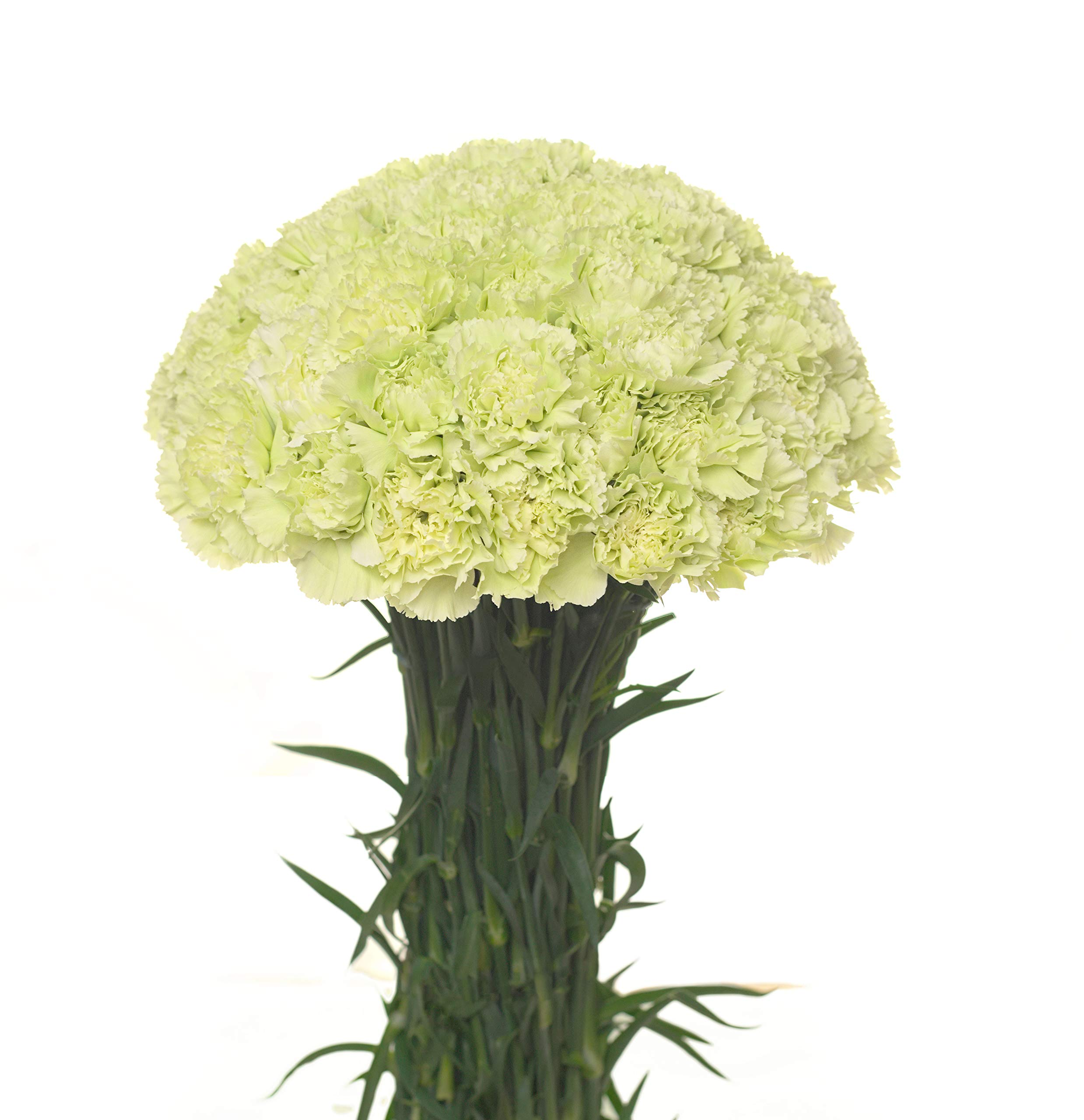 Carnations Multiple Colors and Quantities (50, Green)